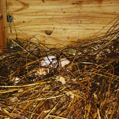 每天早上在雞房子內拾雞蛋