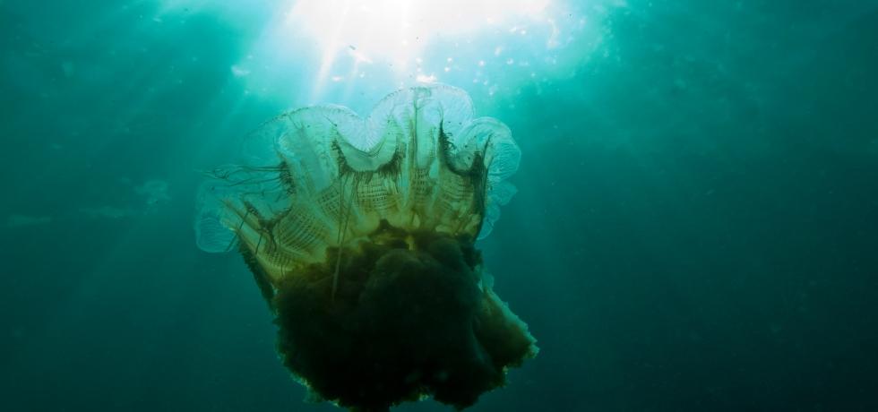 獅鬃水母 Lion mane jellyfish