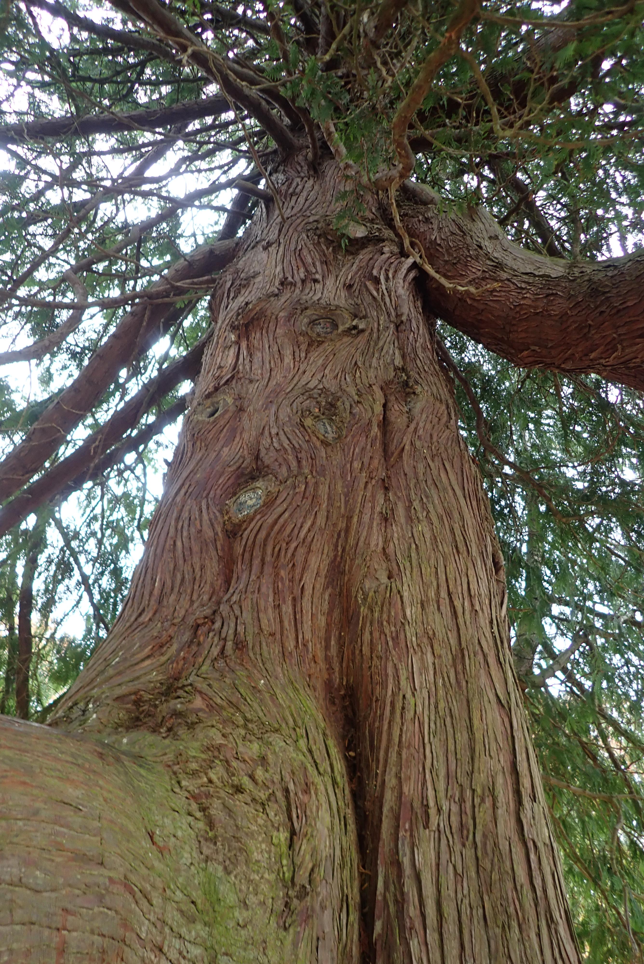 位於郊野公園內的這古樹,木紋深刻