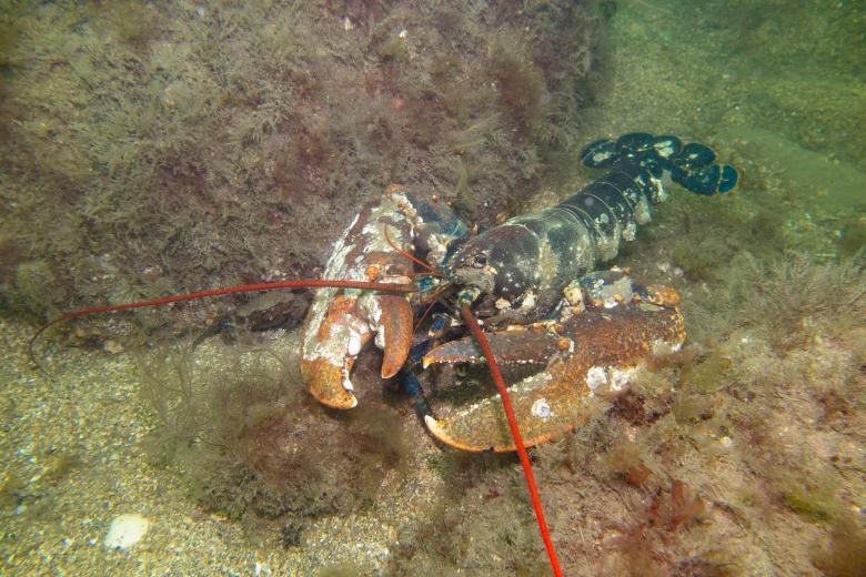 超級巨型的龍蝦
