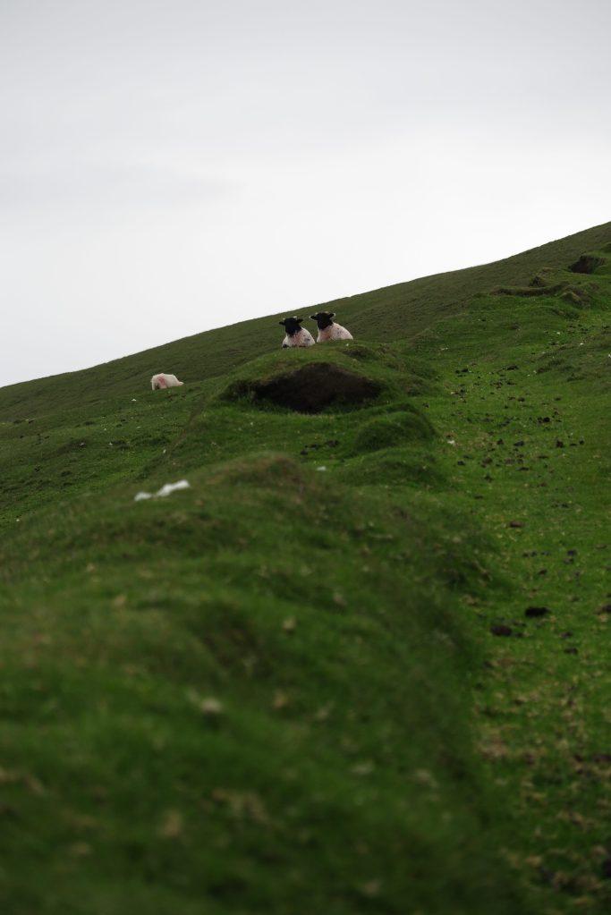 綿羊舒服地躺在草梯山徑