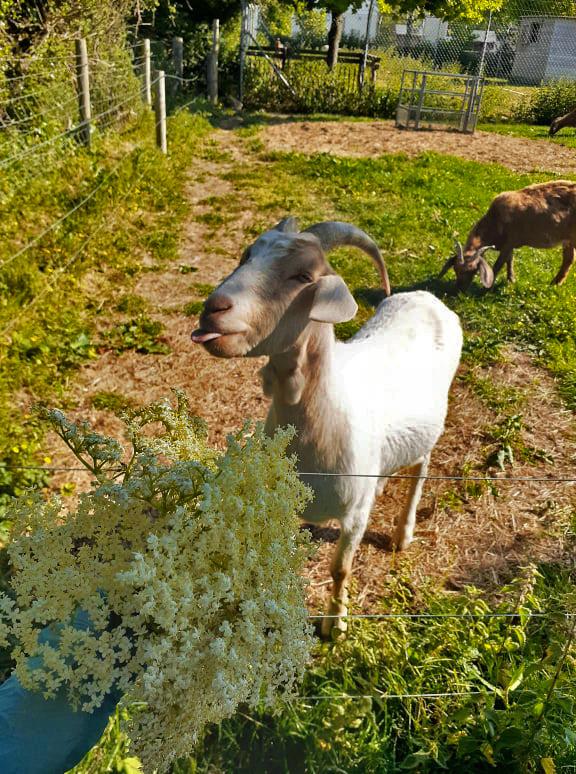 採花時,山羊Billy走來問好