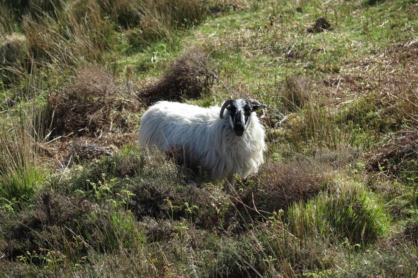 山上的山羊