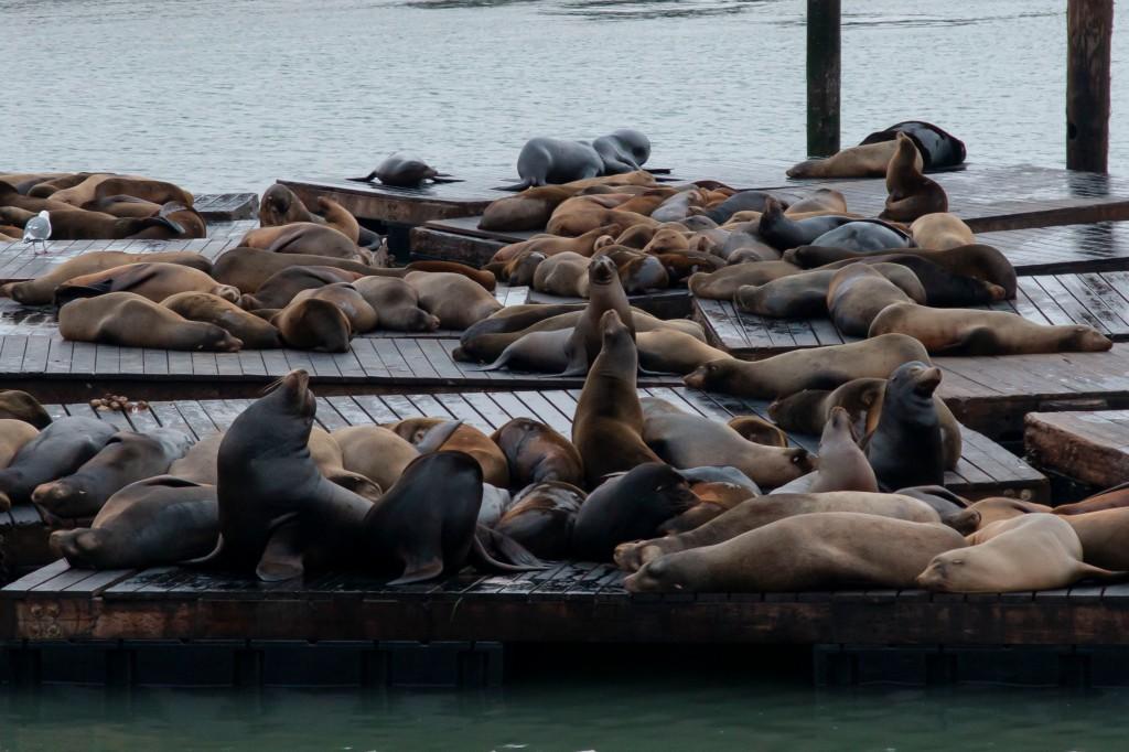39碼頭上的海獅