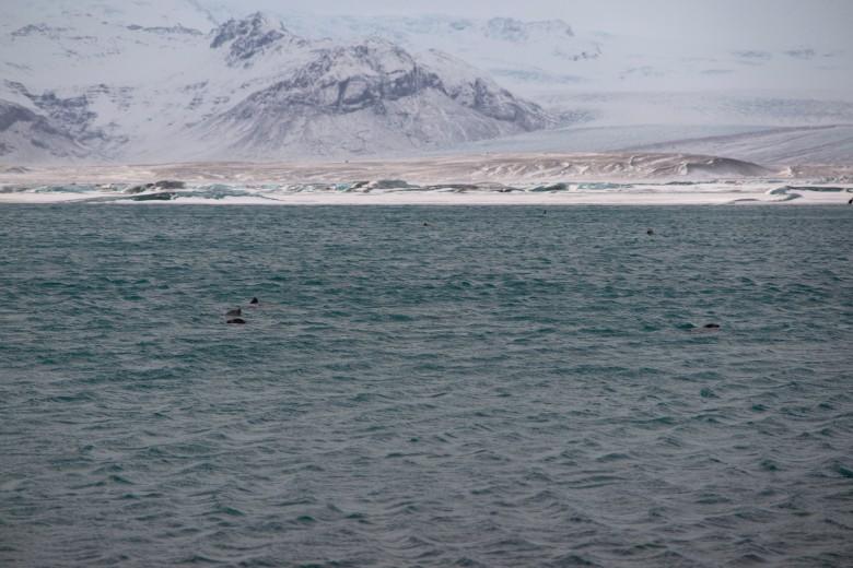 冰島的海獅