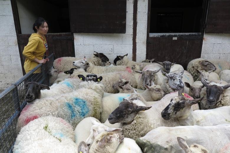 把數十隻綿羊圍起來,等待剪毛