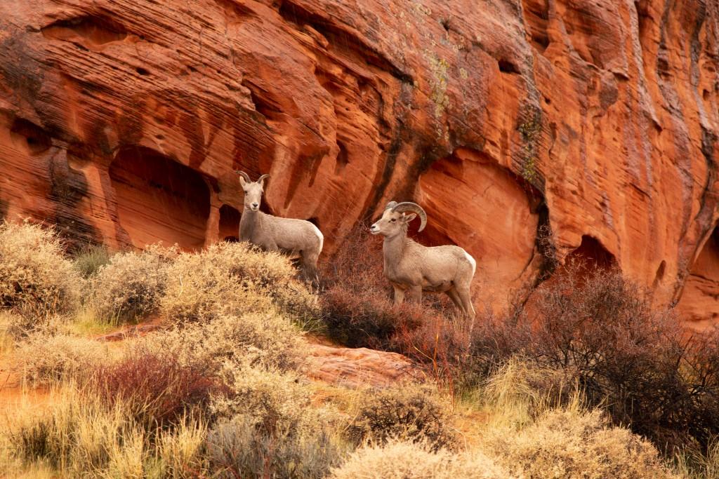 Fire State Park中的大角羊