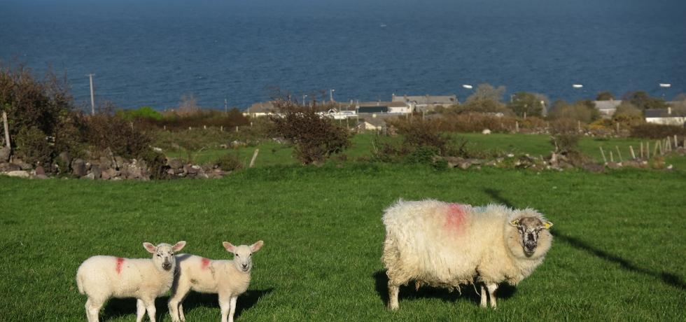 愛爾蘭的綿羊