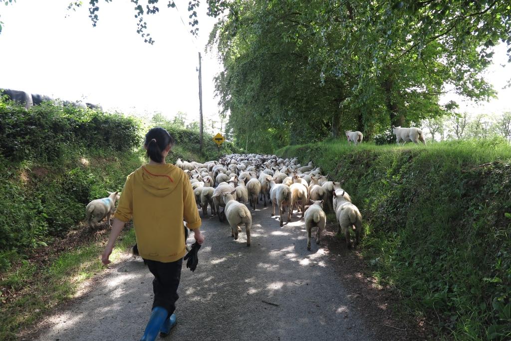 牧羊狗與農場主人走在羊群後面。羊群爭先恐後的向前走。