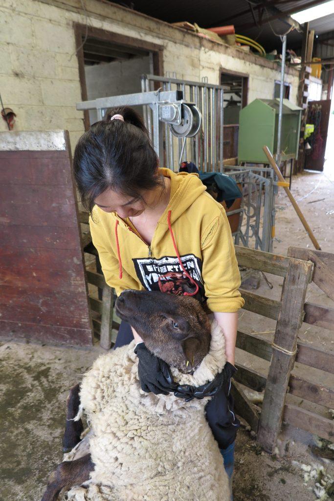 綿羊兩前腿朝天,失去平衡,只能乖乖不動的倚在我雙腿。