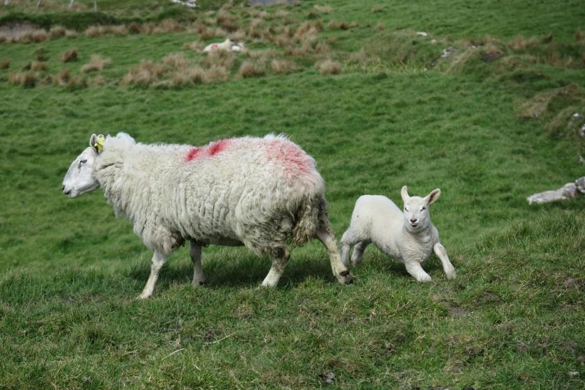 草地上的綿羊