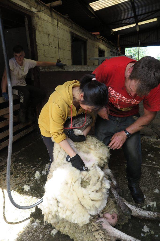 體型龐大的母羊倚著我雙腿,乖乖被我剪毛