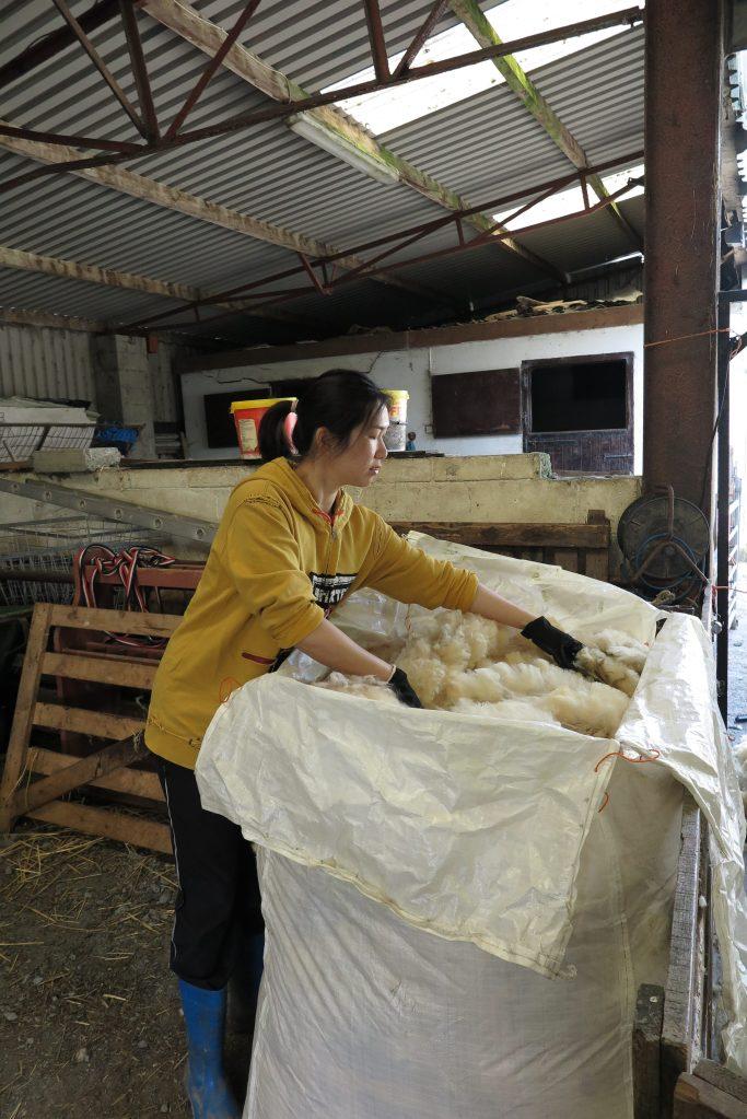 我正把剪好的羊毛收起,擠在大袋內。