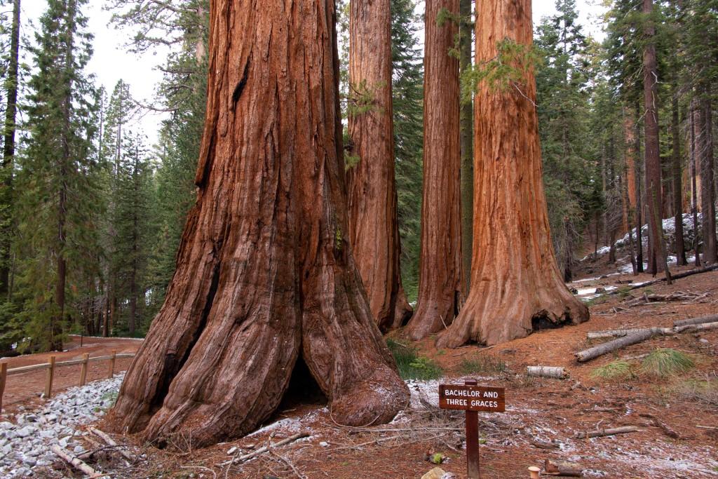 巨杉 Giant Sequoia - Bachelor and Three Graces